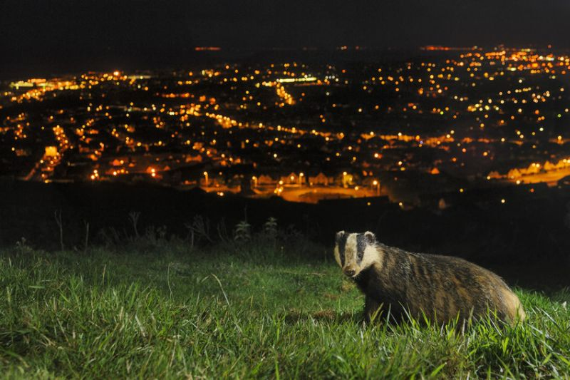 photo of badger with city in background