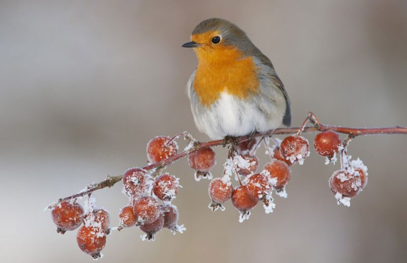 Robin on frosty crabapple tree, winter, Scotland