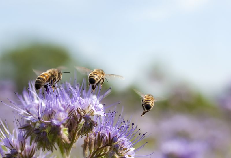 Close-up of 3 bees flying from lilac-coloured flowers, possibly allium.
