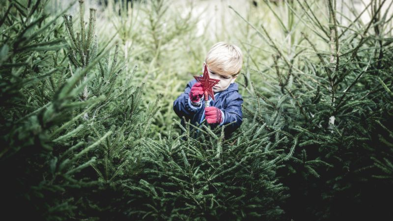 Young boy with blond hair putting a red star on a real Christmas tree at a pine tree farm