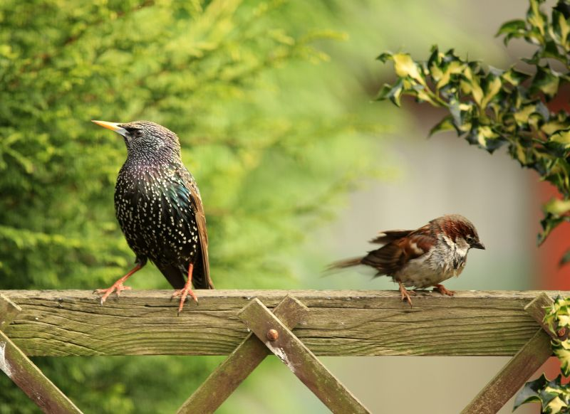 A starling and a house sparrow perched on a gate