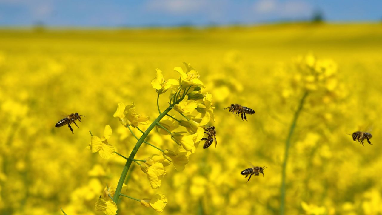 Honeybees hovering around yellow oilseed rape crop under blue sky