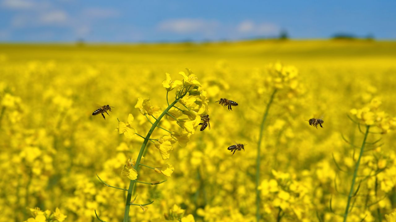 Honeybees foraging in rapeseed oil farm