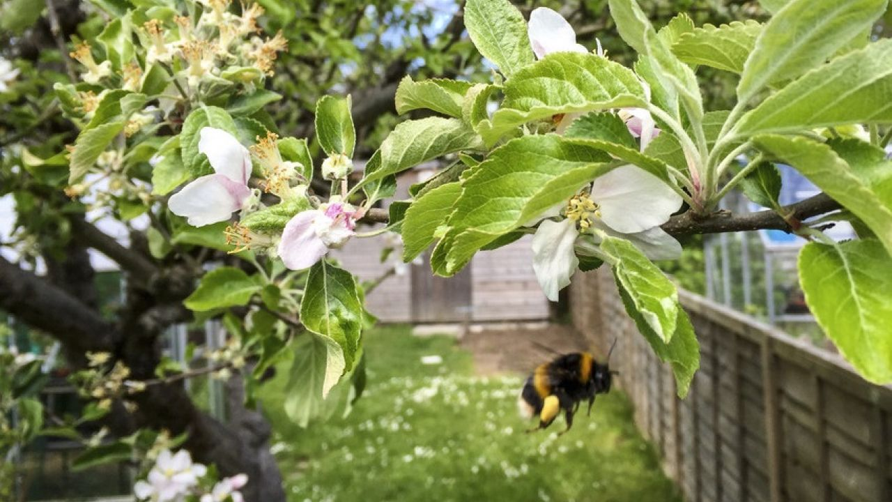 Female buff tailed bumble bee flying near apple tree