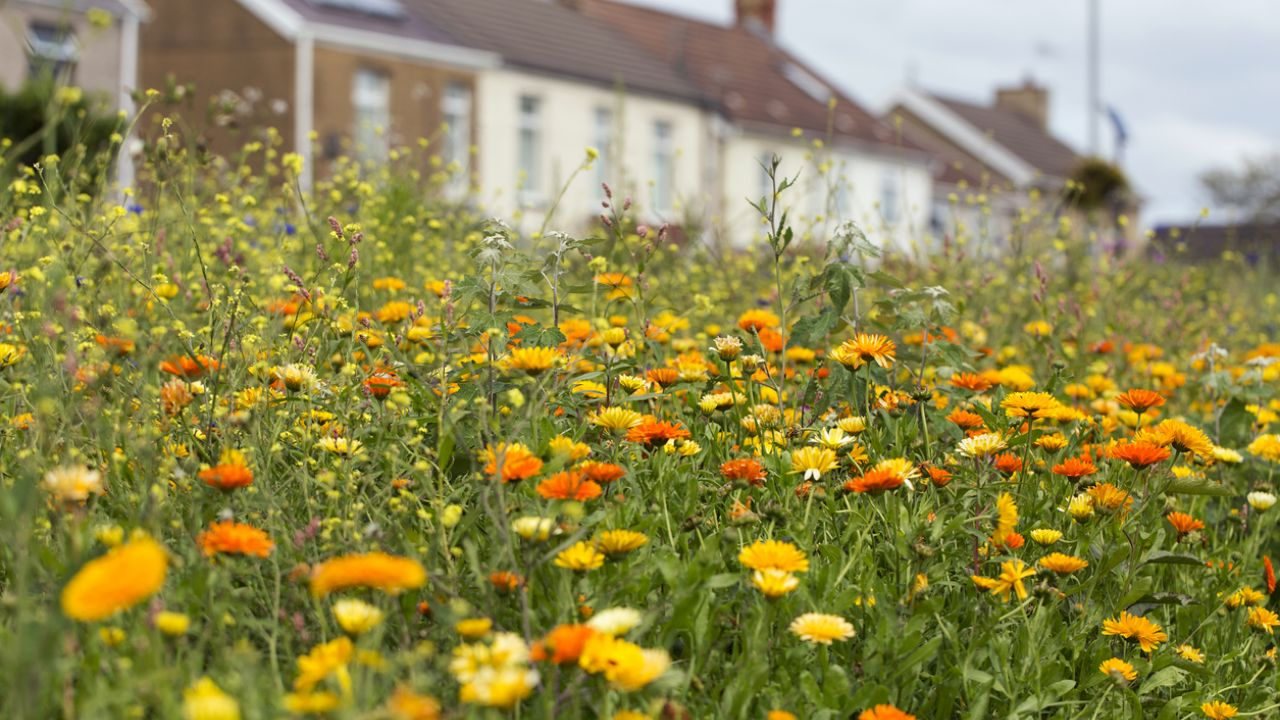 Photo of marigolds by roadside, with houses in background