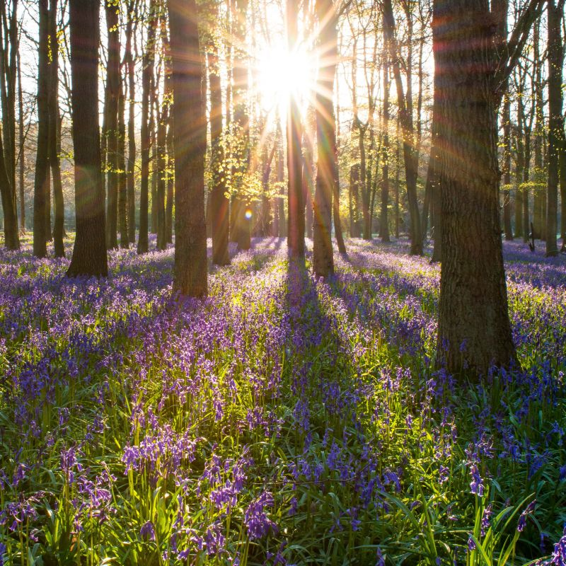 Bluebell wood and setting sun