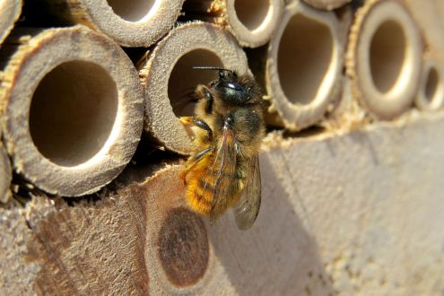 A female Mason bee - Osmia bicornis - perching at the entrance of a bee hotel in Kenilworth, Warwickshire 2013c