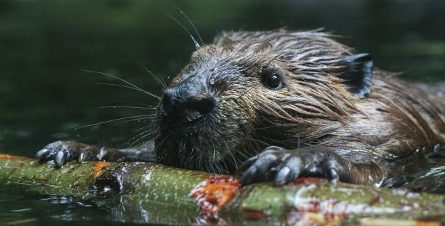Beaver swimming, holding stick