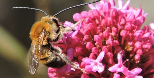 Long-horned bee (Eucera longicornis) on a pink flower.