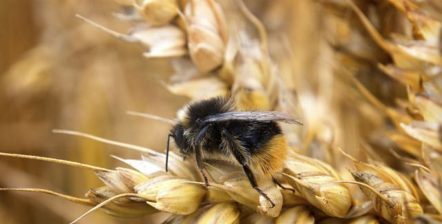 Bumblebee on wheat