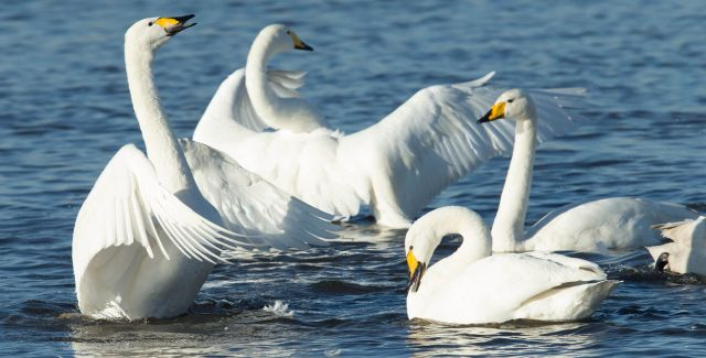 photo of Whooper swans on water