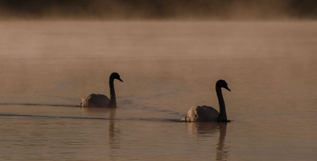 2 silhouetted whooper swans on Lough Neagh in Northern Ireland