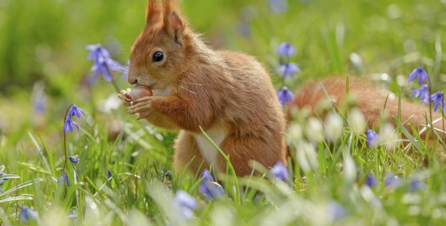 A red squirrel eating a hazelnut, in spring, surrounded by bluebells, UK