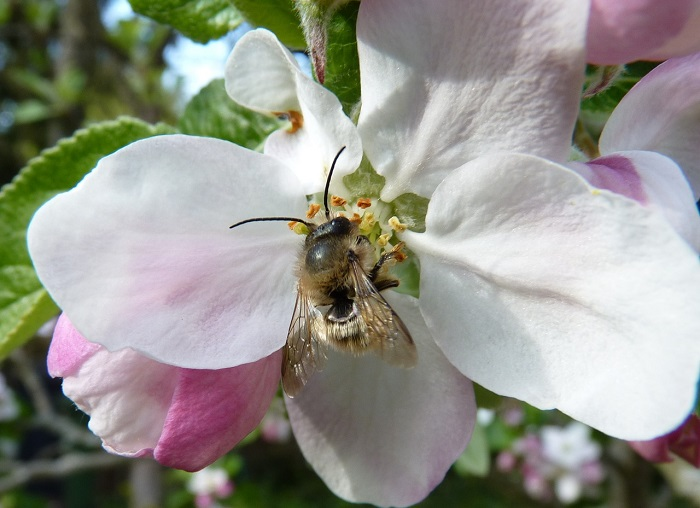 Red mason bee on apple blossom