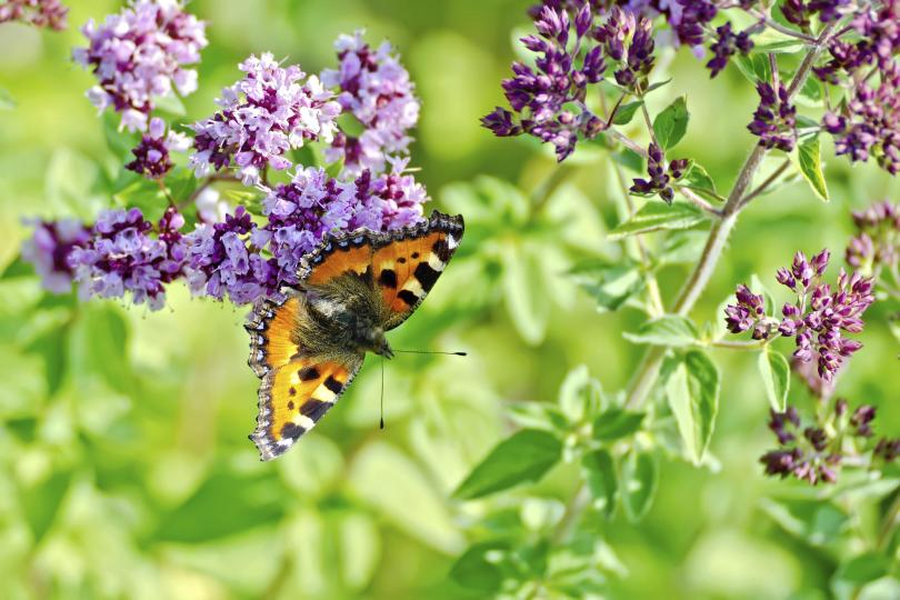 Butterfly on marjoram flower