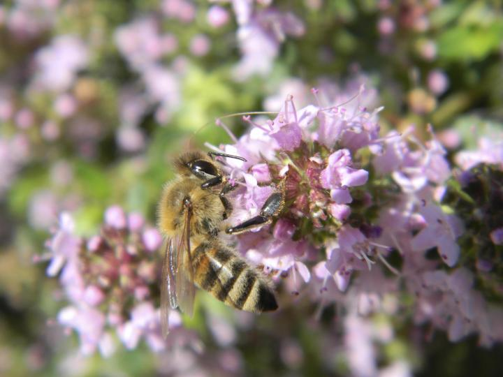 bee on thyme flower