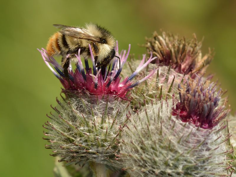 Shrill carder bee feeding on flower