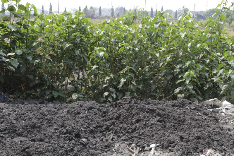 Highly toxic plastic ash dumped near crops in Surabaya