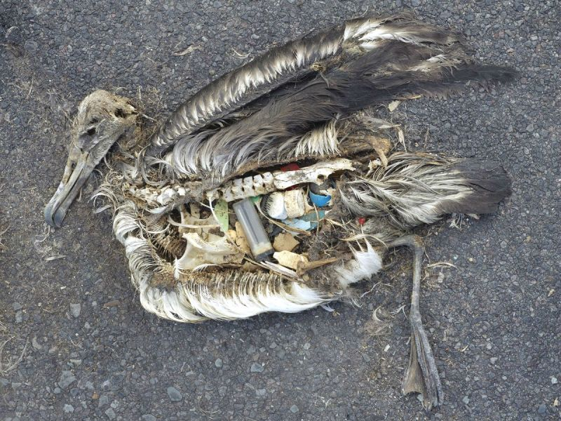 The unaltered stomach contents of a dead albatross chick include plastic marine debris fed the chick by its parents