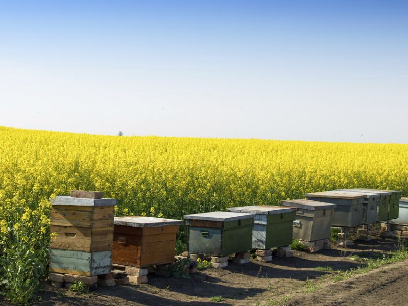 Bee hives next to rape seed field