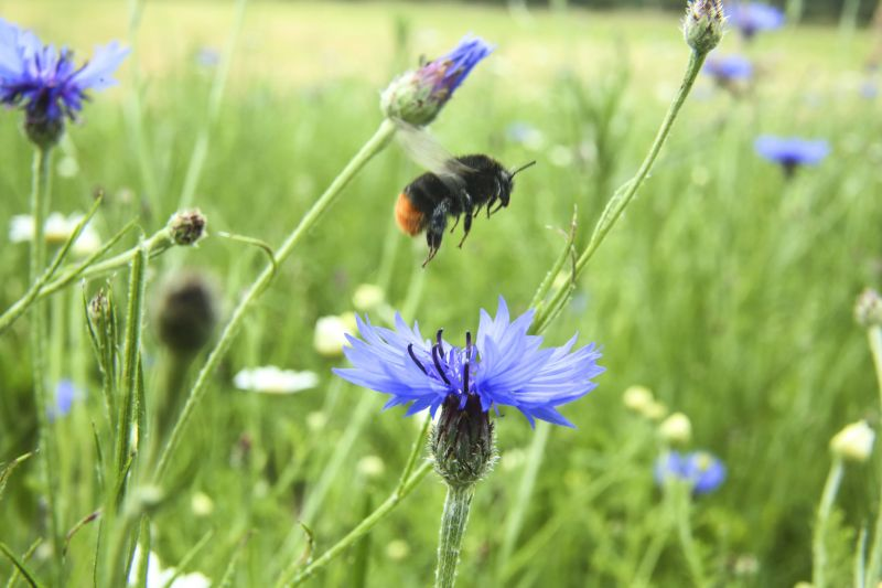 Red-tailed black bumble bee in meadow with blue flowers
