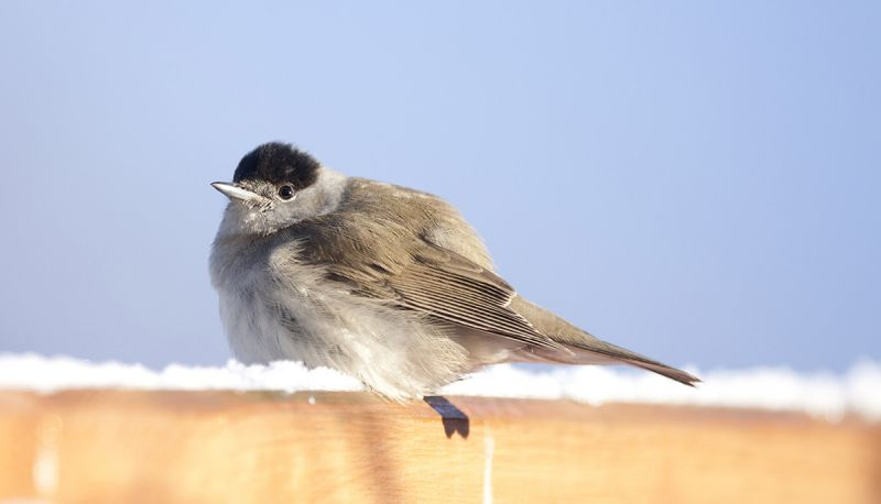 Blackcap sitting on snowy fence