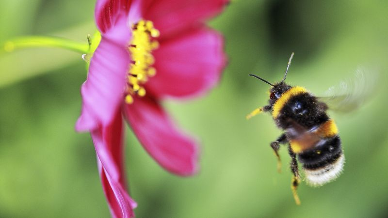 Bumblebee flying towards cosmos flower