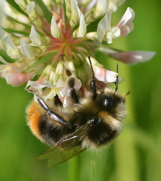 Bumblebee on clover flower in Wales