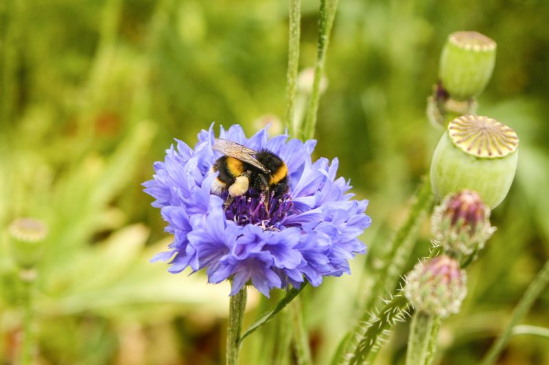 Bumblebee on cornflower