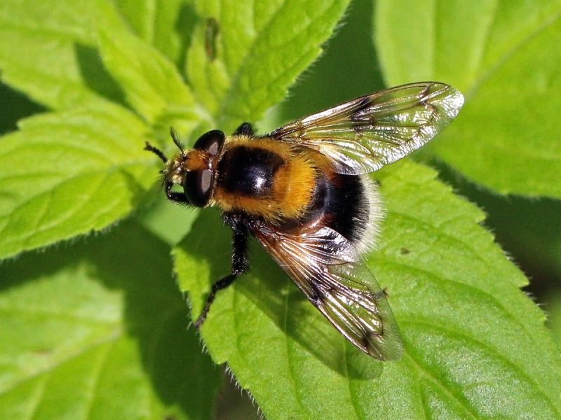A Bumblebee hoverfly on a green leaf