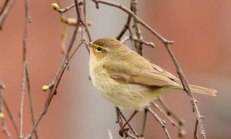 Chiffchaff on branch