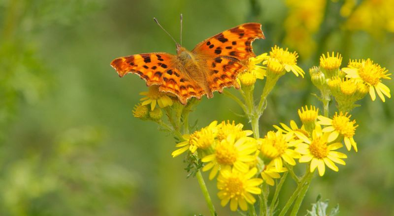 Orange and brown-coloured Comma butterfly feeding on yellow ragwort flowers