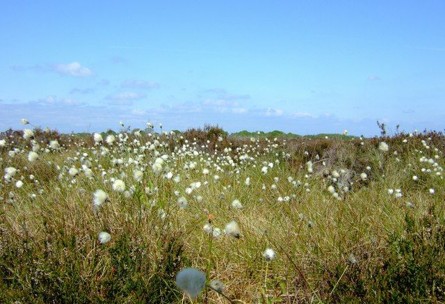 Photo of cotton grass growing on Glassom Moss