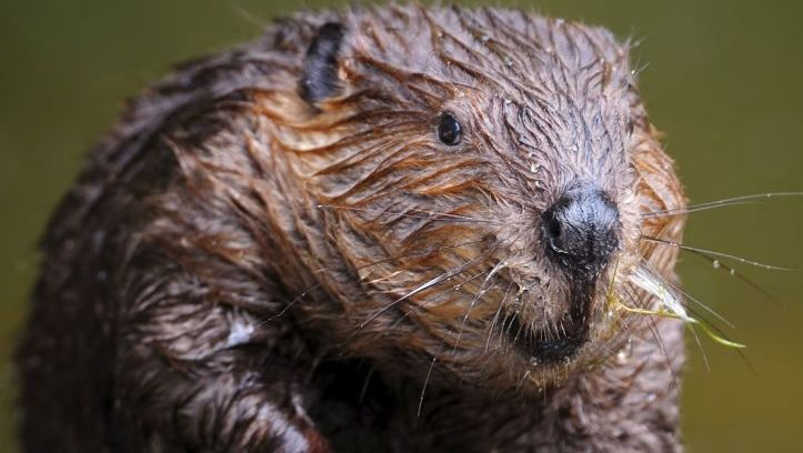 photo of European beaver