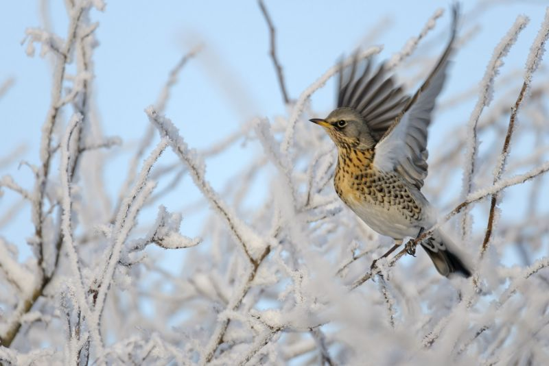 Fieldfare in frosty winter hedgerow, Cambridgeshire © Chris Gomersall/2020VISION