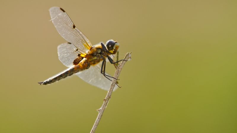 Photo of four-spotted chaser dragonfly
