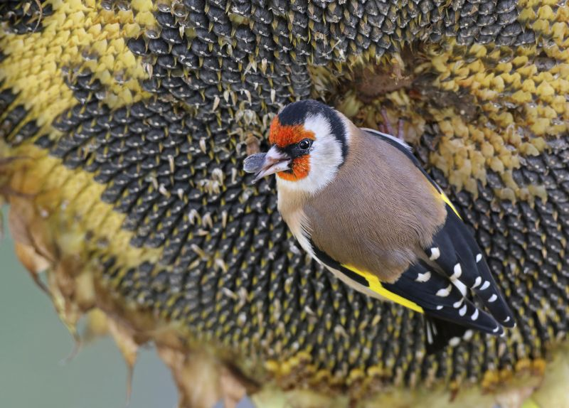 Goldfinch eating sunflower seeds