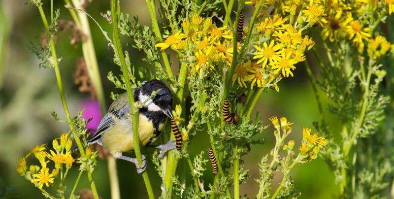 Great tit eating cinnabar moth caterpillars on yellow ragwort plant