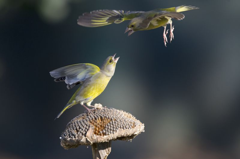 Greenfinches fighting over sunflower seeds