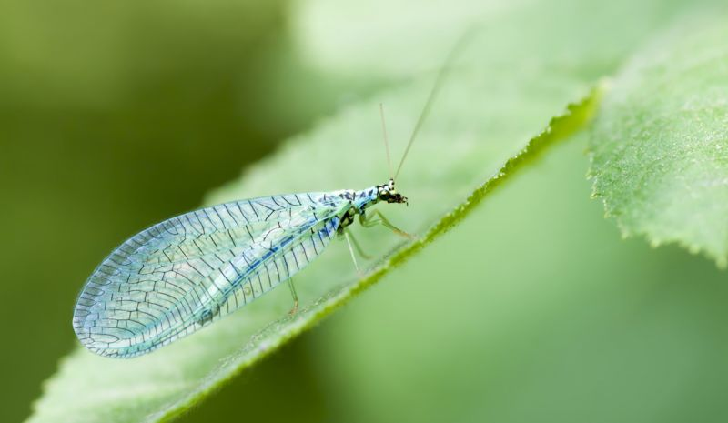 Lacewing sitting on leaf