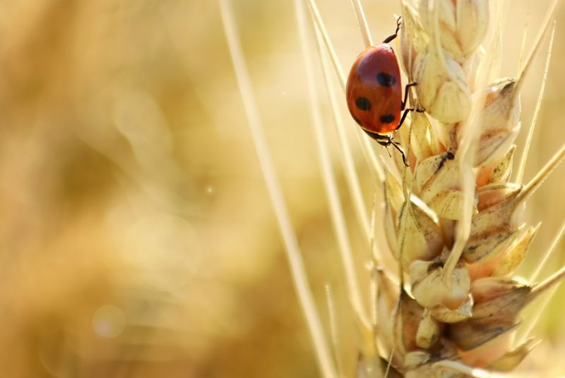 Ladybird on a blade of wheat