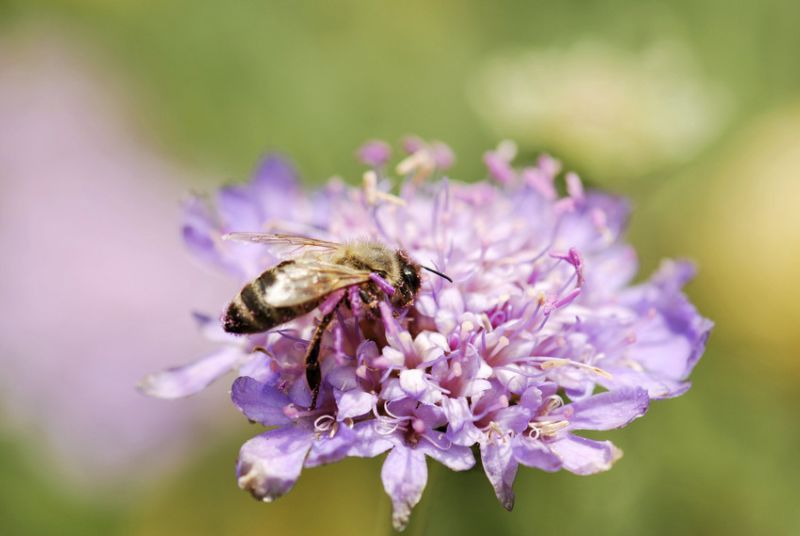 Large scabious mining bee - Andrena hattorfiana