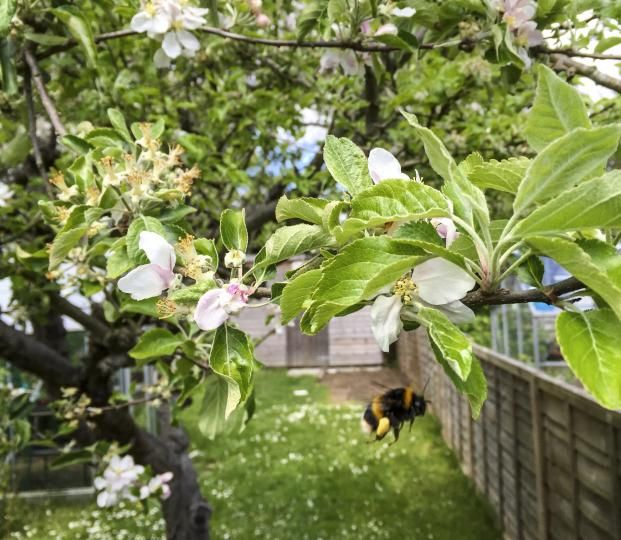 Orchard bee