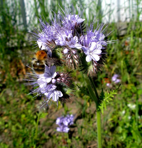 Bee on Phacelia tanacetifolia