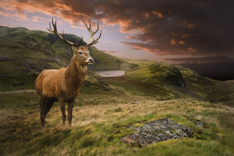 Red deer stag, on the hills of Snowdonia National Park, UK, under an angry sky.
