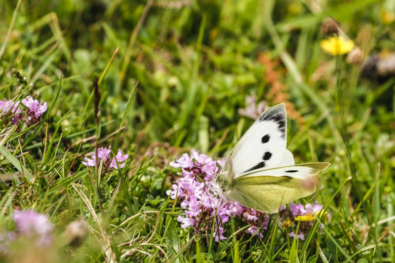 Cabbage White butterfly on pink flower in long grass.