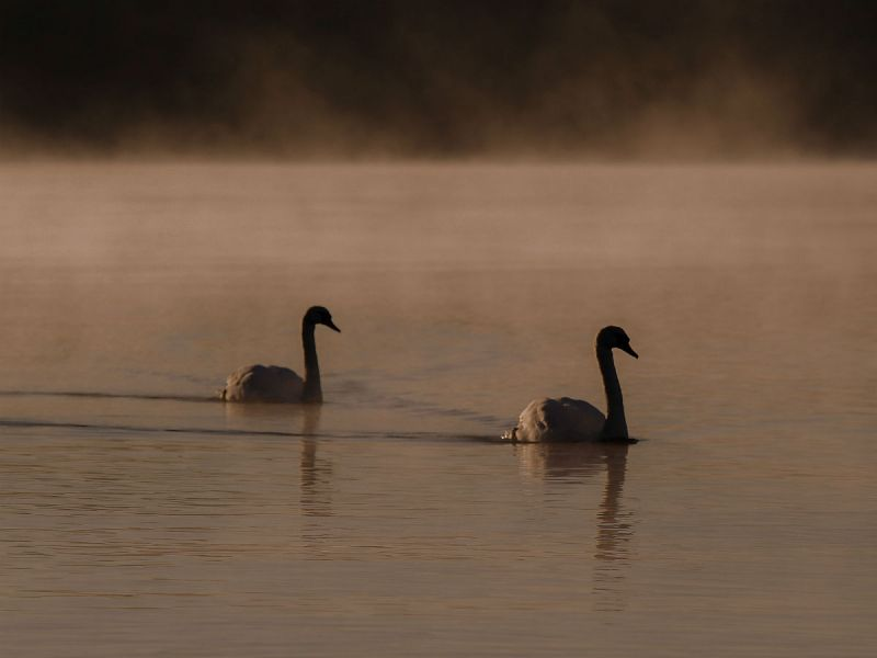 Swans on Lough Neagh, which is connected to Lough Beg via the Lower Bann river in Northern Ireland.