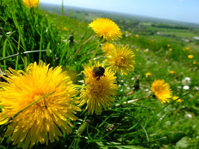 Bees on dandelions
