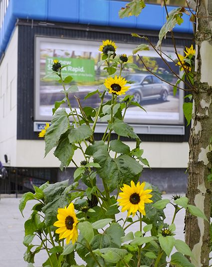 Sunflowers growing on a pavement