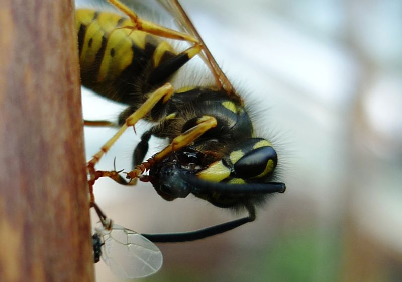 Yellow and black social wasp feeding on smaller insect